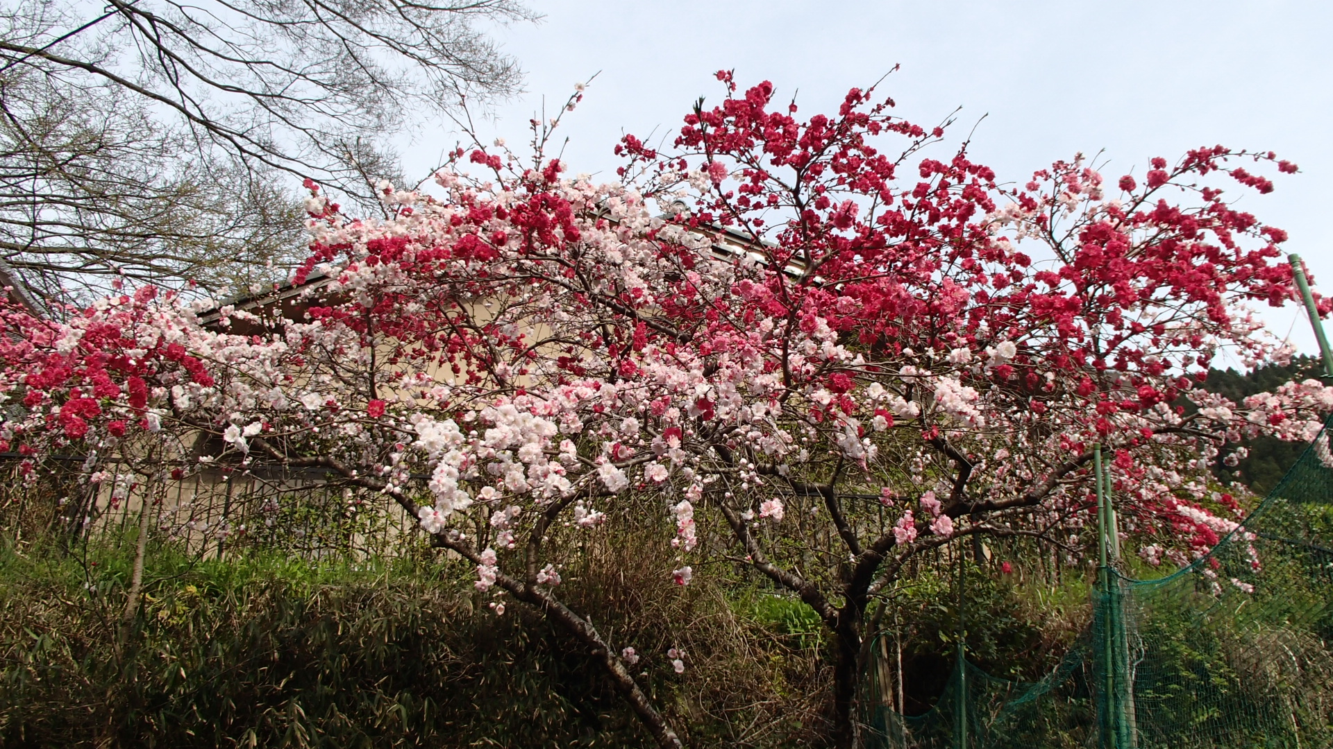 八瀬をランニング中に見つけた桜